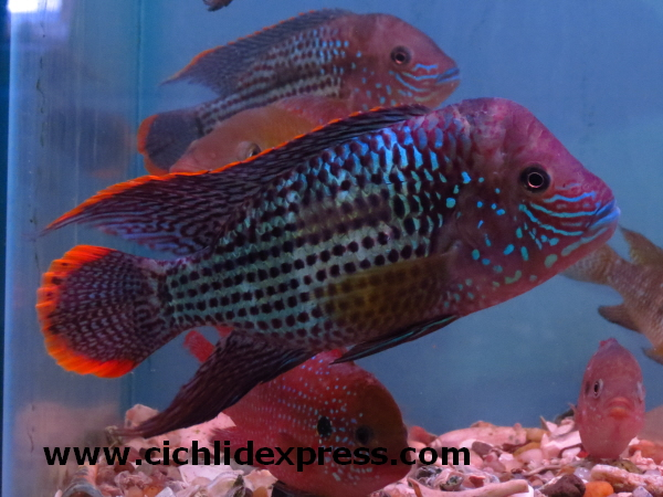 South american cichlids list - photo#7