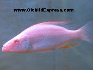 Albino Dimidiochromis compressiceps