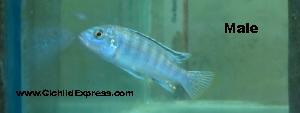 Exasperatus male