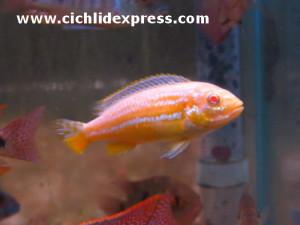 Melanochromis auratus Albino