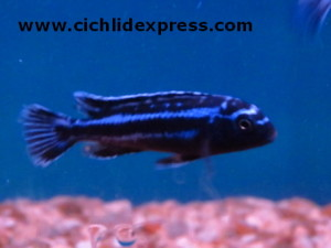 Melanochromis johanni Maingano