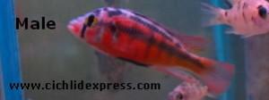 Paralabidochromis sp.'Rock Kribensis' 'Mwanza Gulf'