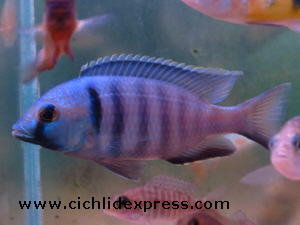Placidochromis electra 2