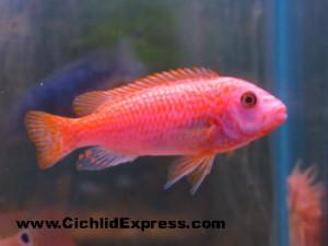 Red Exasperatus