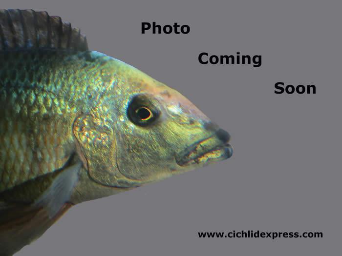 Crimson tide cichlid male