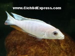 Sciaenochromis fryeri Albino