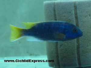 Yellow Tail Acei